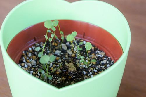Plants - 四つ葉のクローバー栽培セット