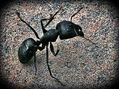 Indian ant