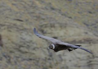 Male (sub-adult) Andean Condor  (Vultur gryphus)