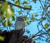Spotted owlet (புள்ளி ஆந்தை)
