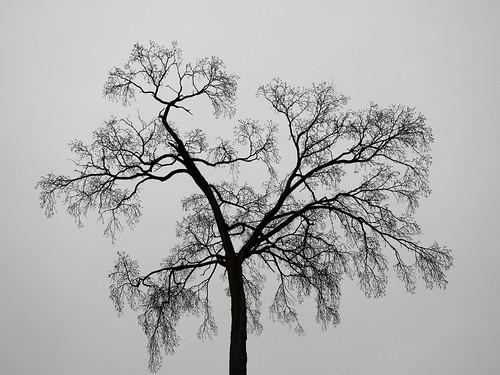 tree overcast outline sky ottawa ontario canada spring printemps arbre ciel silouette