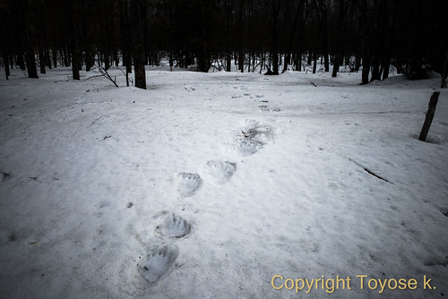 エゾヒグマの足跡