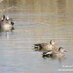 Aves en las lagunas de La Guardia (Toledo). 28/29-03-2018