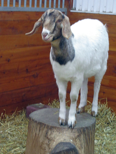 Nubian cross goat Mountsberg Conservation Area, Ontario by irieknit