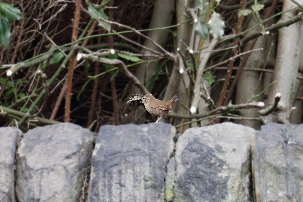 Wren with nesting material