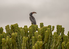 Hornbill and Euphorbia
