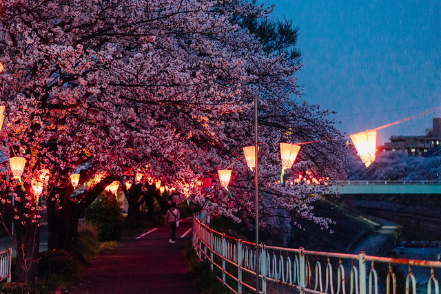 CherryBlossoms_38