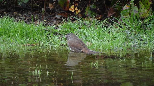 sooty fox sparrow, Richmond, BC