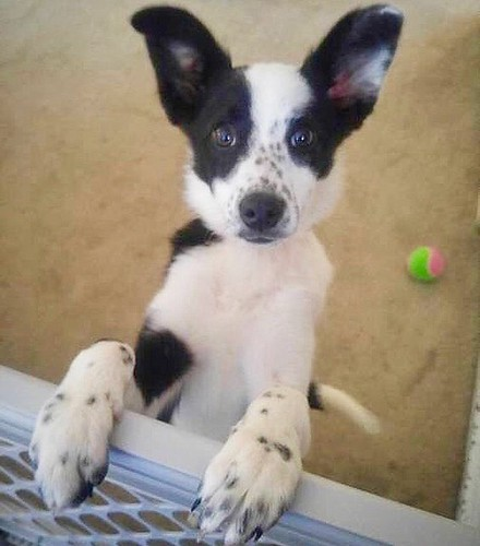 baby Maddy wishes you a happy #NationalPuppyDay #bordercollie #bordercolliemix #glbcr #greatlakesbordercollierescue