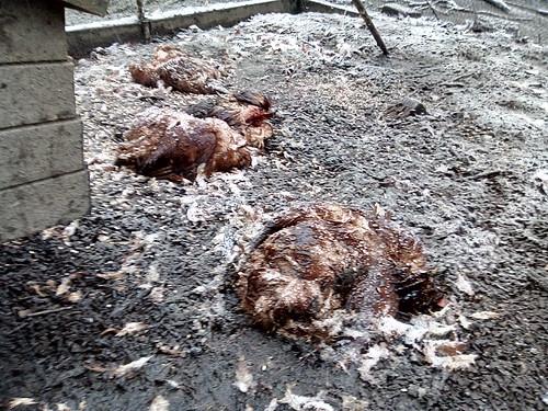 chickens killed by fox Apr 18 (1)