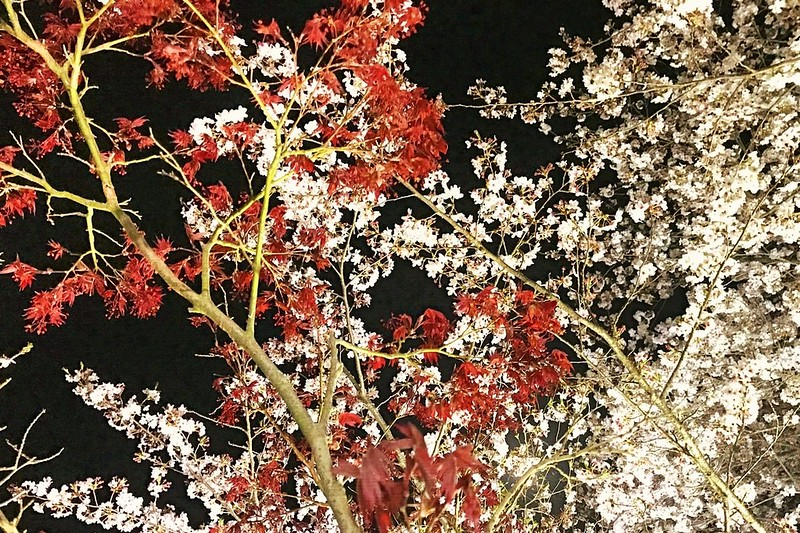 2018.3.30桜と紅葉