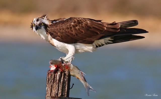 Osprey - Falco Pescatore (Pandion haliaetus)  Explore Mar 15, 2018 # 35
