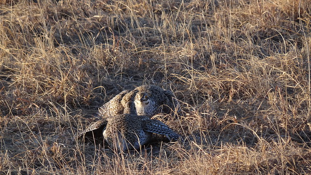sharp-tailed grouse stare-down