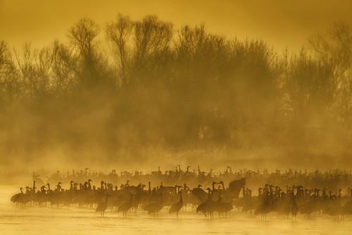 sandhillcranes gruscanadensis nebraska kearney platteriver crane migration redcappedsandhillcrane largebird fog sunrise