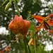 2015 08 07 - Turk's cap lily 1