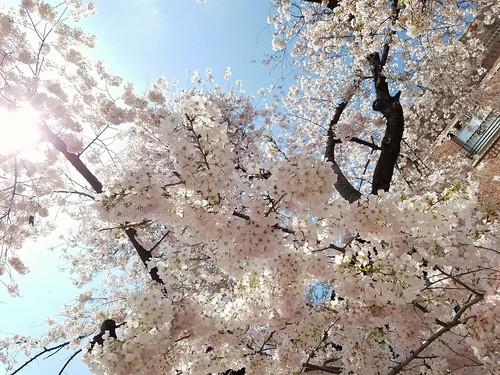 Dupont Cherry Tree