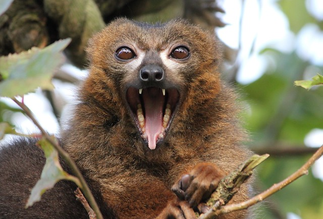 Red Belied Lemur, Canon EOS 550D, Canon EF-S 55-250mm f/4-5.6 IS