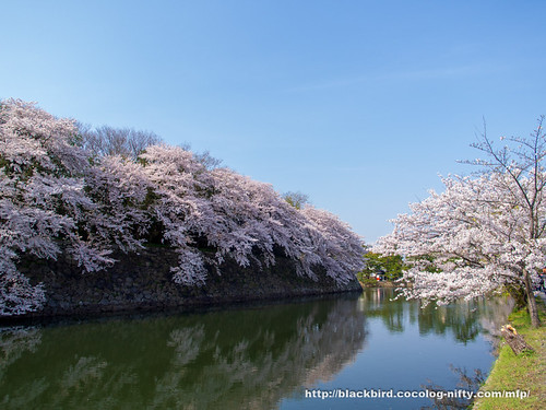 Cherry blossoms 20180403 #09
