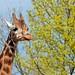 <p><a href=&quot;http://www.flickr.com/people/layzee66/&quot;>layzee66</a> posted a photo:</p>&#xA;&#xA;<p><a href=&quot;http://www.flickr.com/photos/layzee66/41500328281/&quot; title=&quot;Giraffe1&quot;><img src=&quot;http://farm1.staticflickr.com/783/41500328281_06bb0c92b8_m.jpg&quot; width=&quot;240&quot; height=&quot;160&quot; alt=&quot;Giraffe1&quot; /></a></p>&#xA;&#xA;