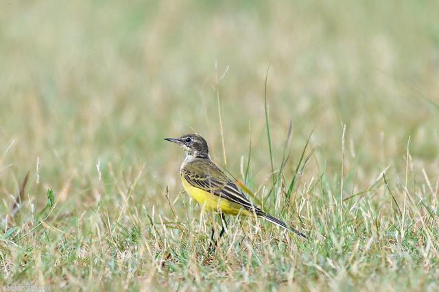 CHU_0252-2 (Yellow Wagtail at the lekki conservation center)