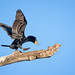 """Cormorant on the """"Balance Beam"""" by alicecahill"""