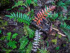 Frankland ferns
