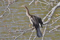 Australasian  Darter ( Thinking about the next move )