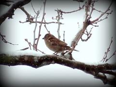 Birds At Snowstorm: Sparrow