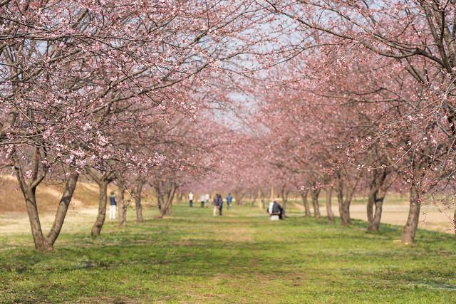 坂戸の安行桜