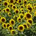 Sunflowers... by Hélène_D