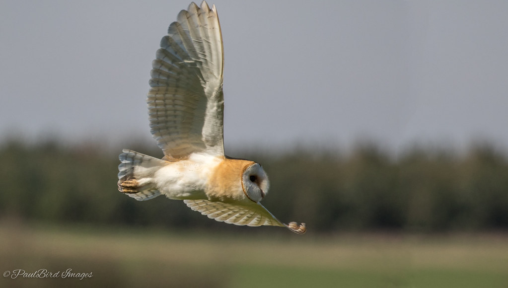 Norfolk Barn Owl