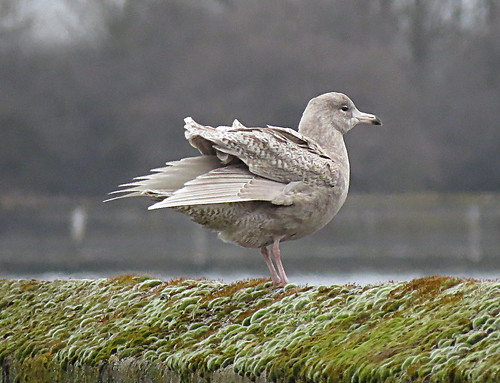 Glaucous Gull Larus hyperboreus Tophill Low NR, East Yorkshire April 2018