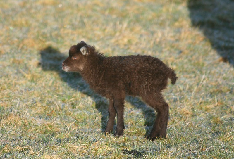 Black North Ronaldsay lamb