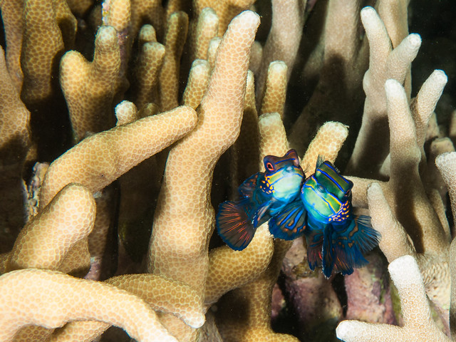 Courtship of The Mandarinfish, Panasonic DMC-GF1, Leica DG Macro-Elmarit 45mm F2.8 Asph. Mega OIS