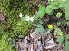 Rue anemone, early buttercup and stonecrop on April 9, 2018