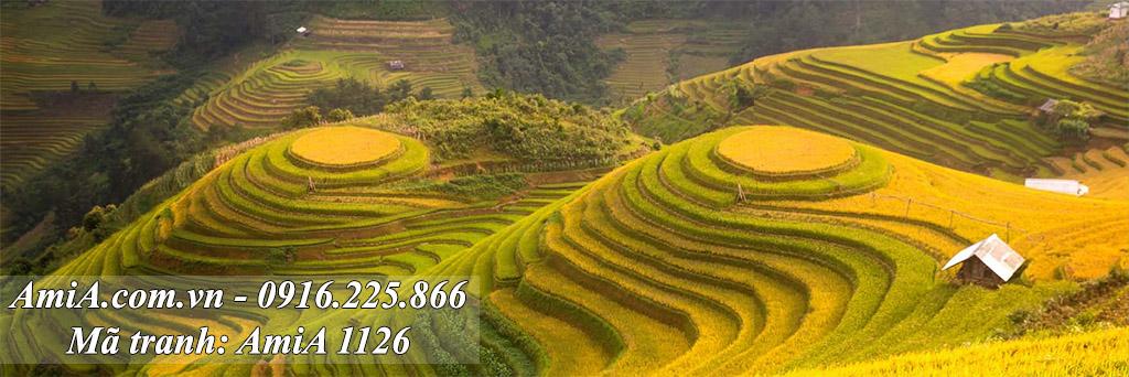 AmiA 1126 - Tranh ruộng bậc thang quê hương chín vàng lấp lánh
