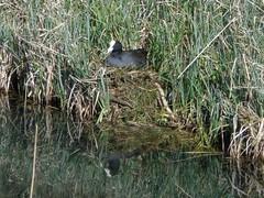 Meerkoet op haar nest 6-4-18