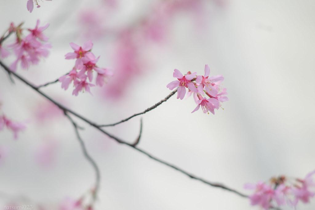 2018-03-15 おかめ桜 001-5