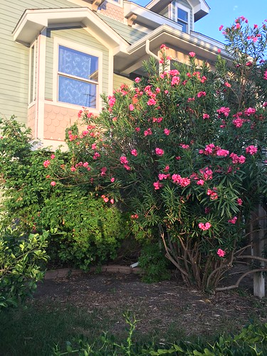 plumeria and bougainvillea after trimming