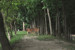 Deers at Jamuna Resort-10