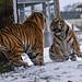 YWP: Tiger Tantrum 2