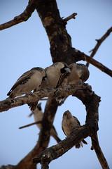 Sociable Weavers (Philetairus socius), Etosha NP, Oshikoto Region, Namibia