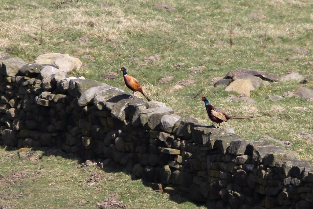 Pheasant (1 dark)
