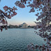 Jefferson & Blossoms by ep_jhu