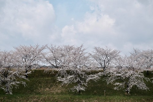 冬のような寒さの中に咲く桜は美しい