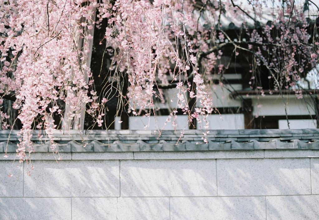 2018-03-30 谷中の桜 005