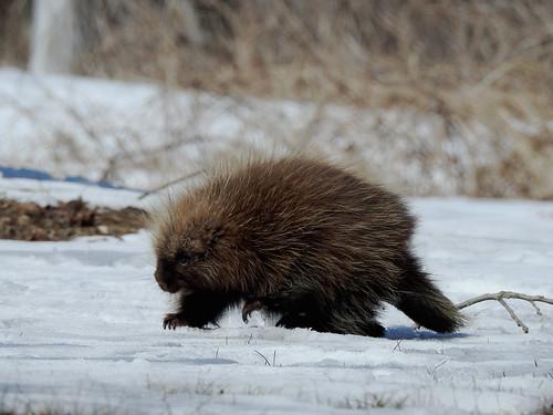 porcupine porcépic poonamalielock rideaucanal canalrideau smithsfalls ontario canada winter hiver