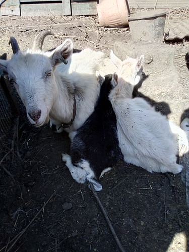 goats sunbathing Apr 18