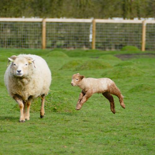 Portland lamb, gambolling, Mary Arden's Farm