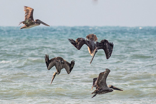 Brown Pelican  diving for fish